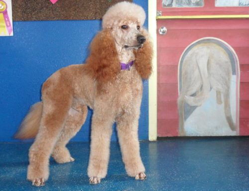 The Importance of Dog Grooming in Clearwater Florida