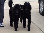 Walking Poodle